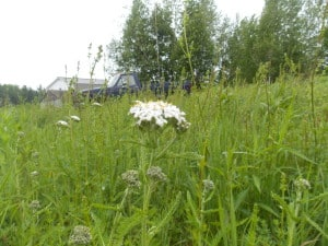 Yarrow, an important medicinal plant for herbalists & Homesteaders